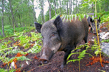Eurasian Wild Boar (Sus scrofa) two sows, used for bracken control in fenced area of woodland, Dundreggan Estate, Glen Moriston, Inverness-shire, Highlands, Scotland, August  -  Desmond Dugan/ FLPA