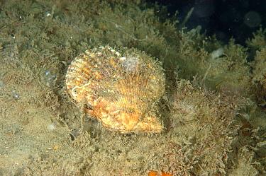 Variegated Scallop (Chlamys varia) adult, on seabed, Lyme Bay, Dorset, England, August  -  Steve Trewhella/ FLPA