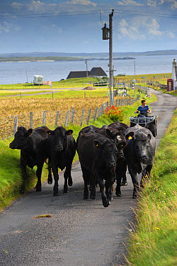 Domestic Cattle, beef herd being driven along single track road by crofter on quadbike, Isle of Tiree, Inner Hebrides, Scotland, August  -  Wayne Hutchinson/ FLPA