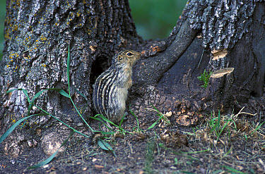 The thirteen-lined ground squirrel (Ictidomy (tridecemlineatus), also known as the striped) gopher, leopard ground squirrel, squinney, and as the leopard-spermophile in Audubon???s day, is a ground sq...  -  David Hosking/ FLPA