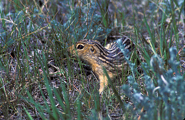 The thirteen-lined ground squirrel (Ictidomys (tridecemlineatus), also known as the striped) gopher, leopard ground squirrel, squinney, and as the leopard-spermophile in Audubon???s day, is a ground s...  -  David Hosking/ FLPA
