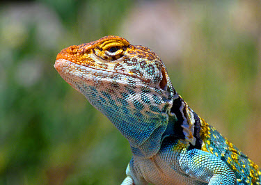 Common Collared Lizard (Crotaphytus collaris auriceps) 'Yellow-headed' race, adult male, close-up of head, Canyonlands National Park, Utah, U.S.A., May  -  Gianpiero Ferrari/ FLPA