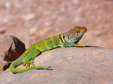 Common Collared Lizard (Crotaphytus collaris auriceps) 'Yellow-headed' race, adult male, basking on rock, Arches National Park, Utah, U.S.A., May  -  Gianpiero Ferrari/ FLPA