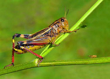 Large Banded Grasshopper (Arcyptera fusca) adult female, resting on stem, Cannobina Valley, Italian Alps, Piedmont, Northern Italy, July  -  Gianpiero Ferrari/ FLPA