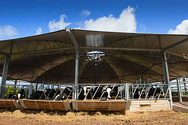 Cattle farming, dairy heifers in roundhouse building, designed for healthy enviroment by improving ventilation, England, May  -  Wayne Hutchinson/ FLPA