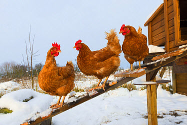 Domestic Chicken, three hens, emerging from raised coop on allotment in snow, Norfolk, England, January  -  Gary K Smith/ FLPA