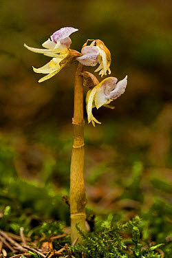 Ghost Orchid (Epipogium aphyllum) flowering, growing in deep shade woodland, Bavaria, Germany, July  -  Bob Gibbons/ FLPA