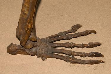 Giant Short-faced Bear (Arctodus simus) hind foot skeleton fossil, Whitehorse Museum, Yukon, Canada  -  Chris & Tilde Stuart/ FLPA