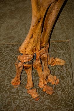 Sauropod Dinosaur (Jobaria sp) foot skeleton fossil, from Africa, Whitehorse Museum, Yukon, Canada  -  Chris & Tilde Stuart/ FLPA