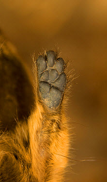 Cape Rock Hyrax (Procavia capensis) adult, close-up of front foot undersurface, Loxton, Great Karoo, Northern Cape, South Africa, February  -  Chris & Tilde Stuart/ FLPA