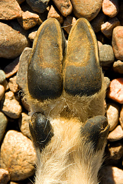 Mountain Goat (Oreamnos americanus) adult, close-up of front hoof undersurface, Fort Collins, Colorado, U.S.A., October  -  Chris & Tilde Stuart/ FLPA