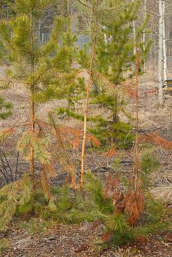 Mule Deer (Odocoileus hemionus) 'thrashing' damage to young conifers by antlers during rut, Whitehorse, Yukon, Canada, May  -  Chris & Tilde Stuart/ FLPA