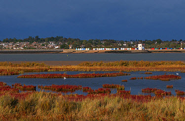 View across saltmarsh and estuary towards coastal town, viewed from East Mersea, Brightlingsea, River Colne, Essex, England, October  -  David Burton/ FLPA