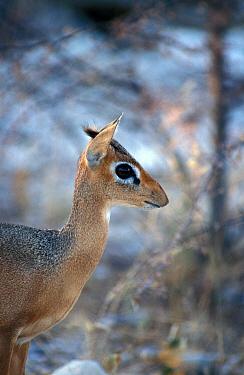 Kirk's Dik Dik (Madoqua kirkii) Female, Namibia  -  David Hosking/ FLPA