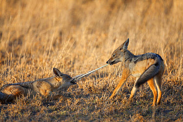 Black-backed Jackal (Canis mesomelas) two cubs, playing tug-of-war with feather, Serengeti National Park, Tanzania, December  -  Bernd Rohrschneider/ FLPA