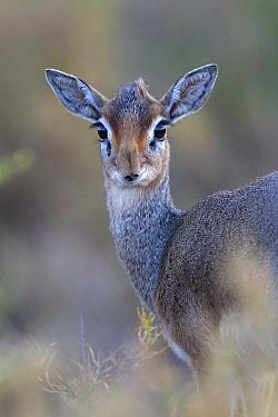 Kirk's Dik-dik (Madoqua kirkii) adult female, close-up of head and shoulders, Serengeti National Park, Tanzania, December  -  Bernd Rohrschneider/ FLPA