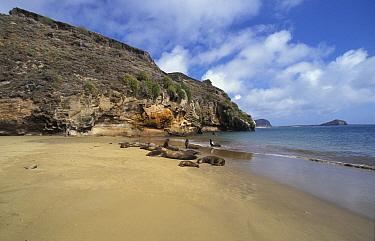 Sea Lion Galapagos (Zalophus californianus wollebacki) On beach at Punta Pitt  -  David Hosking/ FLPA