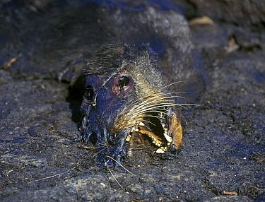 Galapagos Sea Lion (Zalophus californianus wollebacki) A casualty of El Nino ' Fernandina  -  David Hosking/ FLPA