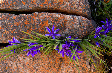 Baboon-root (Babiana framesii) flowering, growing amongst rocks, Nieuwoudtville Reserve, Northern Cape Province, South Africa, August  -  Bob Gibbons/ FLPA