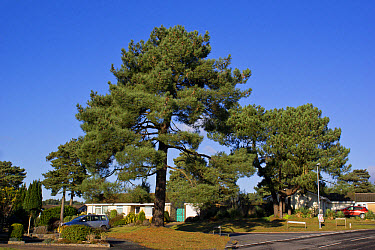 Maritime Pine (Pinus pinaster) habit, mature tree growing in housing estate, Christchurch, Dorset, England, December  -  Bob Gibbons/ FLPA