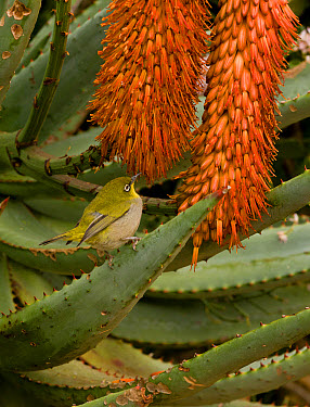 Cape White-eye (Zosterops pallidus capensis) adult, feeding on Cape Aloe (Aloe ferox) flowers, Cape Town, Western Cape Province, South Africa, August  -  Bob Gibbons/ FLPA