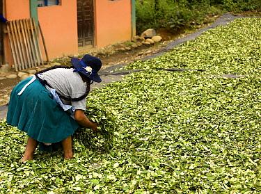 Coca (Erythroxylum coca) cocaine production, woman moving drying leaves, Pilcopata Village, Andes, Peru  -  Gerard Lacz/ FLPA