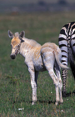 Zebra (Equus burchelli) (Albino) Young standing behind adult, Masai Mara  -  Fritz Polking/ FLPA