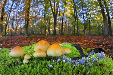 Sulphur Tuft Fungi (Hypholoma fasciculare) and Candle-snuff Fungus (Xylaria hypoxylon) fruiting bodies, growing amongst Cypress-leaved Plait-moss (Hypnum cupressiforme) in woodland habitat, Leicesters...  -  Matthew Cole/ FLPA
