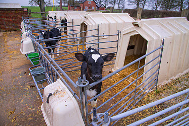 Domestic Cattle, Holstein dairy calves, standing in calf hutches, Cheshire, England, January  -  John Eveson/ FLPA