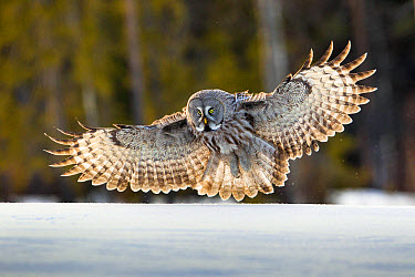 Great Grey Owl (Strix nebulosa) adult female, in flight, hunting over deep snow, Finnish Lapland, Finland, April  -  Jules Cox/ FLPA