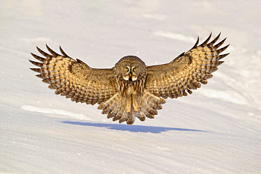 Great Grey Owl (Strix nebulosa) adult female, in flight, hunting over snow covered open field in early morning, Finnish Lapland, Finland, April  -  Jules Cox/ FLPA