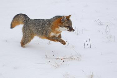Grey Fox (Urocyon cinereoargenteus) adult, leaping in snow, Minnesota, U.S.A., January (captive)  -  Paul Sawer/ FLPA