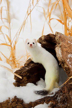 Stoat (Mustela erminea) adult, in 'ermine' white winter coat, climbing over log in snow, Minnesota, U.S.A., January (captive)  -  Paul Sawer/ FLPA