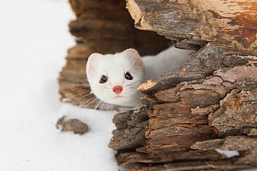 Stoat (Mustela erminea) adult, in 'ermine' white winter coat, peering out from hollow log in snow, Minnesota, U.S.A., January (captive)  -  Paul Sawer/ FLPA