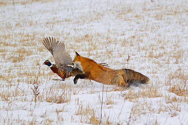 American Red Fox (Vulpes vulpes fulva) adult female, running in snow covered field capturing Common Pheasant (Phasianus colchicus) adult male, prey, Minnesota, U.S.A., January (captive)  -  Paul Sawer/ FLPA
