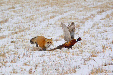 American Red Fox (Vulpes vulpes fulva) adult female, running in snow covered field chasing flying Common Pheasant (Phasianus colchicus) adult male, prey, Minnesota, U.S.A., January (captive)  -  Paul Sawer/ FLPA