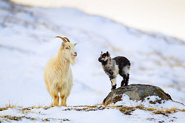 Feral Goat (Capra hircus) adult female with baby, standing in snow, Cairngorm National Park, Highlands, Scotland, February  -  Jules Cox/ FLPA