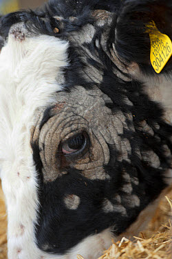 Dairy farming, young dairy heifer, with Ringworm infection, close-up of head, North Yorkshire, England, November  -  Wayne Hutchinson/ FLPA