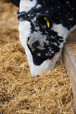 Dairy farming, young dairy heifer, with Ringworm infection, feeding on silage, North Yorkshire, England, November  -  Wayne Hutchinson/ FLPA