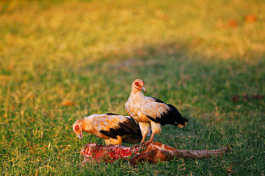 Palm-nut Vulture (Gypohierax angolensis) two adults, feeding, scavenging on Reticulated Giraffe (Giraffa camelopardalis reticulata) leg, Samburu National Park, Kenya  -  Gerard Lacz/ FLPA