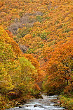 View of river and autumn coloured woodland covering steep sides of valley, Horner's Neck Wood, East Lyn River, near Watersmeet, North Devon, England, October  -  Andrew Wheatley/ FLPA
