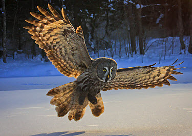Great Grey Owl (Strix nebulosa) adult, in flight, hunting over snow, Lapland, Finland, March  -  Harri Taavetti/ FLPA