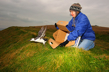 Seabird rescue, cleaned Common Guillemot (Uria aalge) adult, winter plumage, being released by RSPCA West Hatch staff after contamination from polyisobutene oil additive at sea, affecting waterproof c...  -  Steve Trewhella/ FLPA