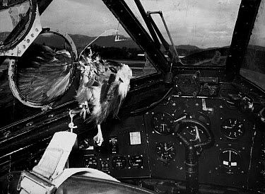 Remains of eagle which attacked aircraft in mid-air and smashed through windscreen (Air Ministry Photo)  -  FLPA/ FLPA