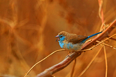Red-cheeked Cordon-bleu (Uraeginthus bengalus) adult female, calling, perched on stem, Gambia, January  -  Robin Chittenden/ FLPA