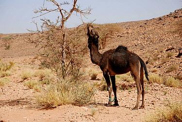 Dromedary Camel (Camelus dromedarius) adult, with hobbled front legs, feeding on tree leaves, near Zagora, Souss-Massa-Draa, Morocco, February  -  Derek Hall/ FLPA