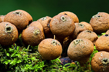 Stump Puffball (Lycoperdon pyriforme) fruiting bodies, growing on moss covered dead wood, Clumber Park, Nottinghamshire, England, October  -  Dave Pressland/ FLPA