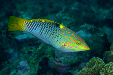 Checkerboard Wrasse (Halichoeres hortulanus) adult, swimming over reef, Lembeh Straits, Sulawesi, Sunda Islands, Indonesia, March  -  Colin Marshall/ FLPA