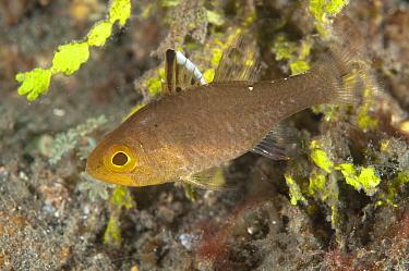 Frostfin Cardinalfish (Apogon hoeveni) adult, Lembeh Straits, Sulawesi, Sunda Islands, Indonesia, March  -  Colin Marshall/ FLPA