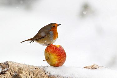 European Robin (Erithacus rubecula) adult, feeding on apple in snow, Warwickshire, England, January  -  Mike Lane/ FLPA